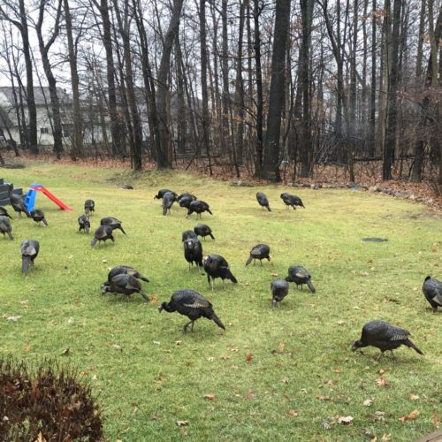 Attack of the Turkeys